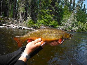 brook-trout-ontario