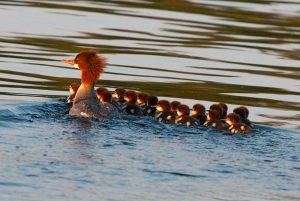 merganser-family