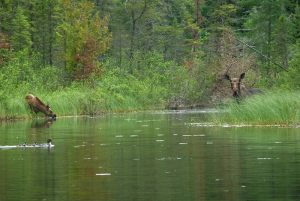 moose-northern-ontario