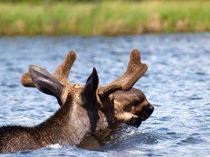 ontario-moose